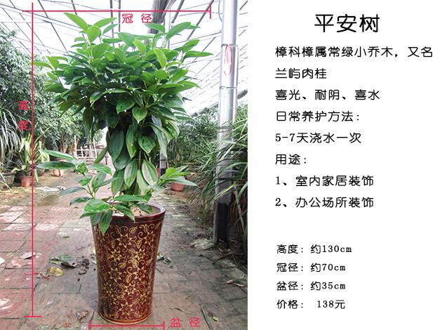 平安树是一种观叶植物