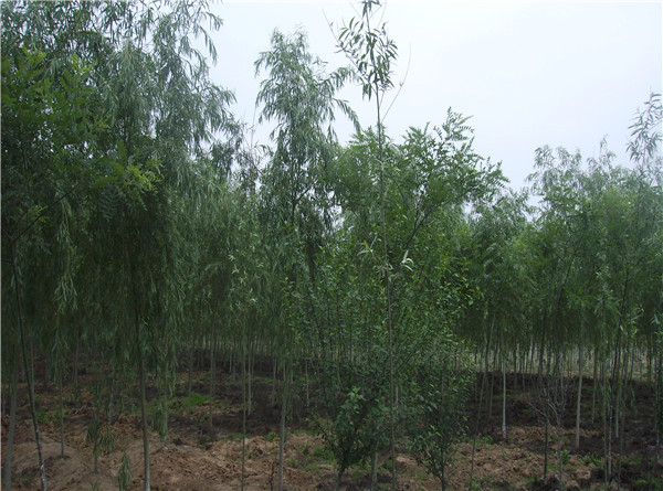 柳树木才木料图片